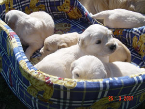 Cachorritos de Golden Retriever